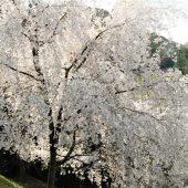 徳島、剣山麓の桜