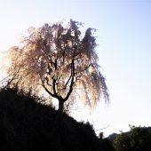 徳島、剣山麓の村の桜