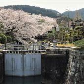 滋賀、大津琵琶湖疎水と桜
