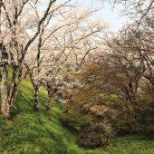 滋賀大津、疎水添いの桜