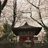滋賀、大津三井寺の桜