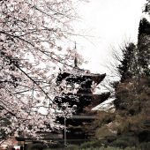 滋賀、大津三井寺、塔と桜