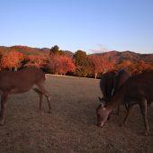 夕陽の飛火野と鹿