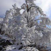 樹氷のような
